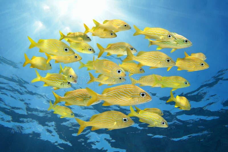fransk grymtningskola för fisk arkivfoto