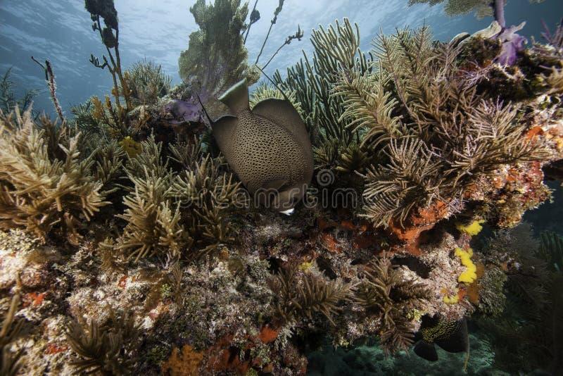 Fransk havsängel på korallreven royaltyfria bilder