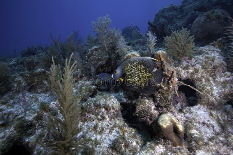Fransk havsängel på korallreven arkivbild