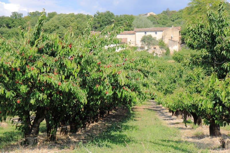 Fransk körsbärsröd fruktträdgård i Provence royaltyfria bilder