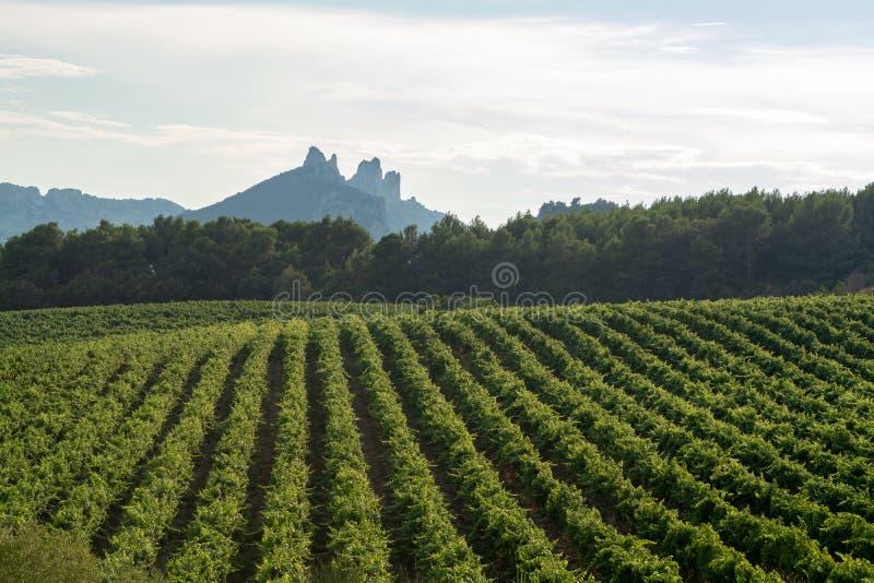 Fransk röd växt för AOC-vindruvor, ny skörd av vindruvan in royaltyfria foton