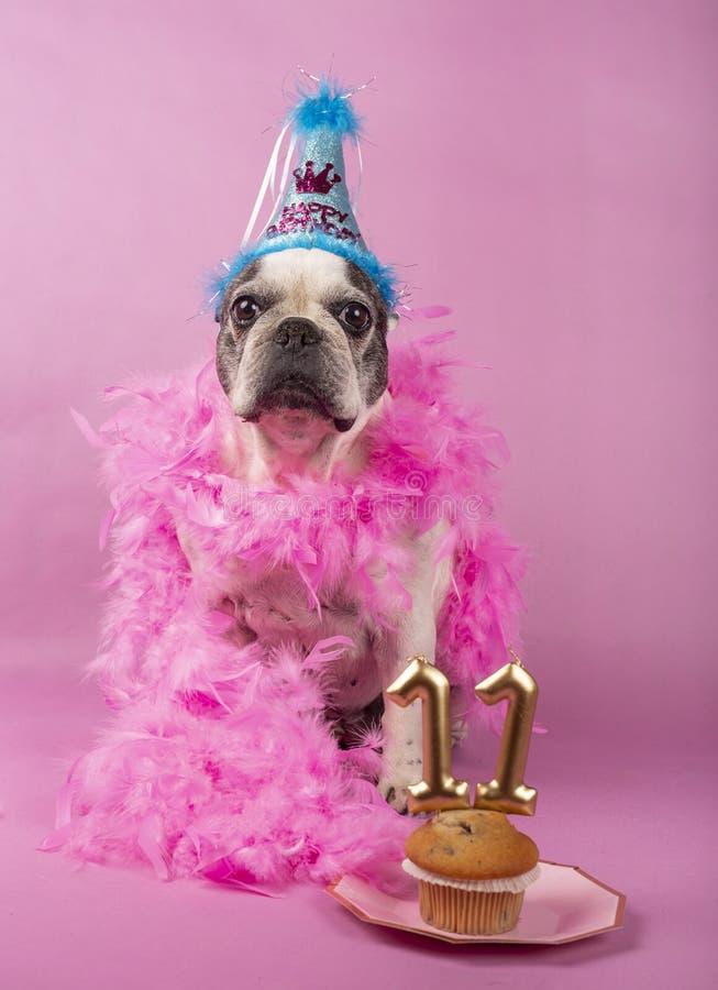 Fransk tjurhund som firar hans födelsedag royaltyfria bilder