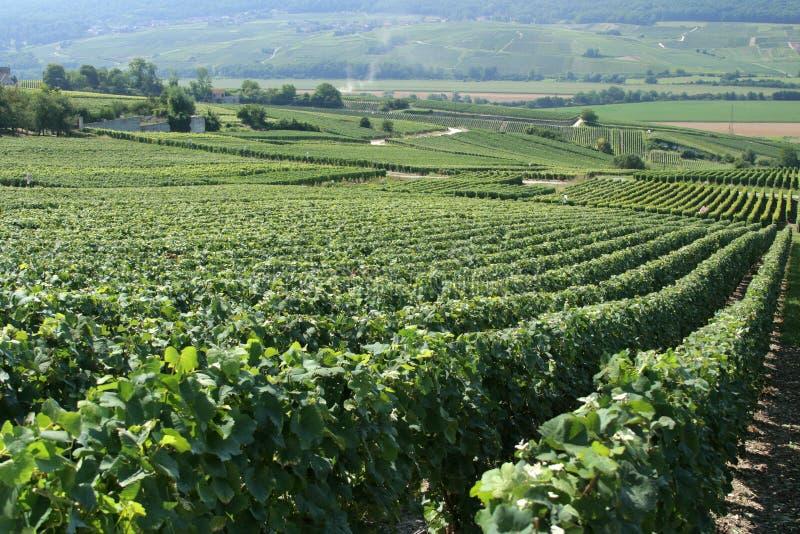 fransk vingård royaltyfria bilder