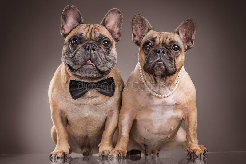 Franska bulldoggar över brun bakgrund royaltyfri fotografi