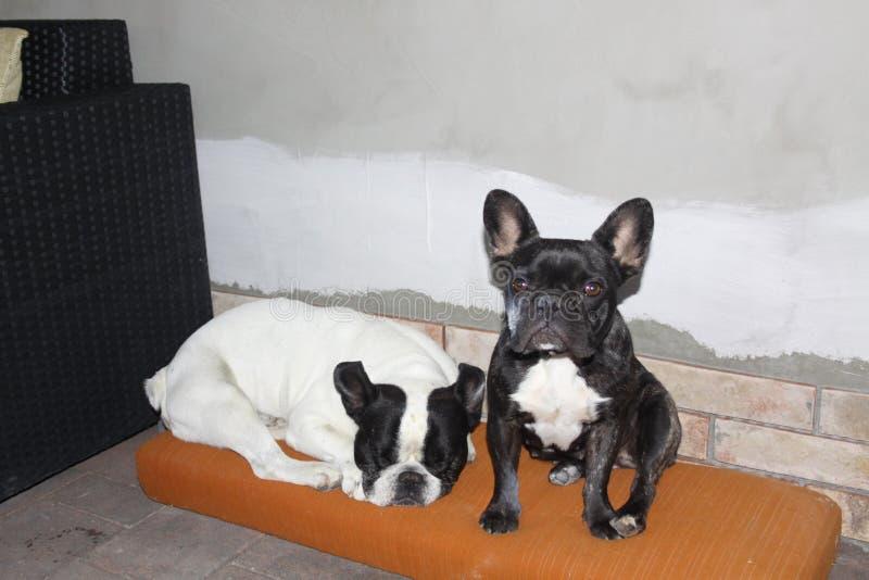 Franska bulldoggar, kyla royaltyfria bilder