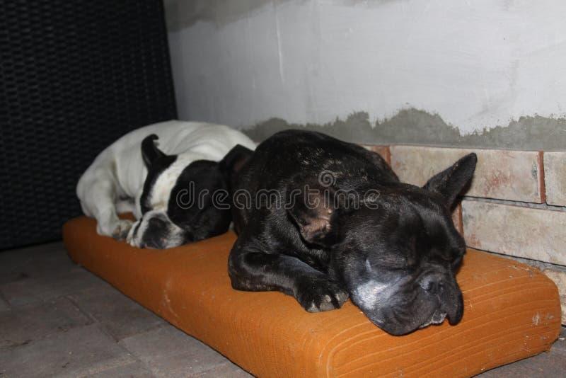 Franska bulldoggar, kyla royaltyfri bild