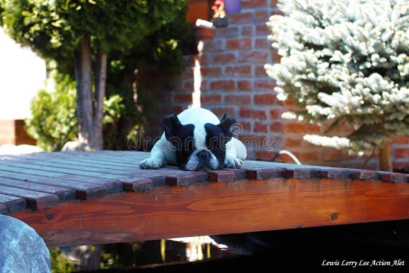 Franska bulldoggar, kyla royaltyfri fotografi