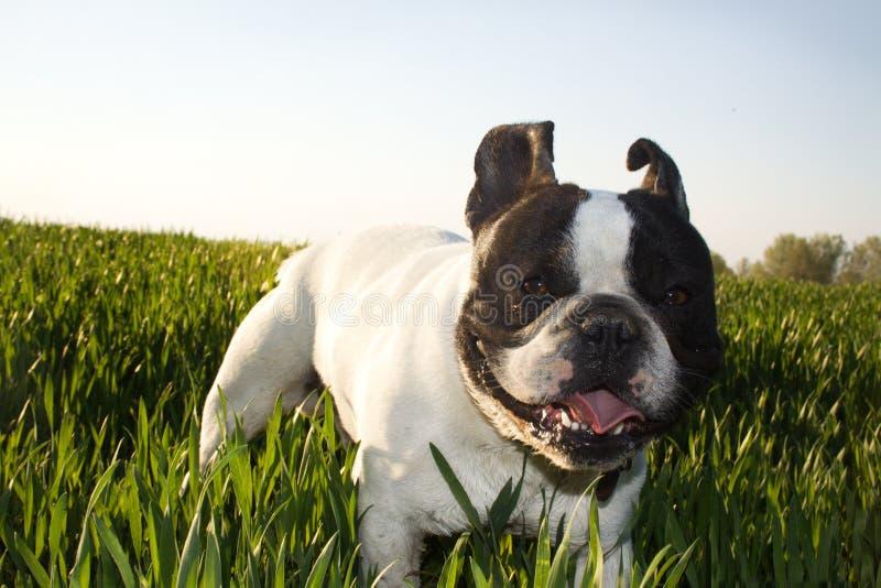 Franska bulldoggar, på en gå royaltyfria bilder
