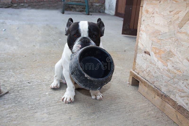 Franska bulldoggar som är hungriga arkivbild