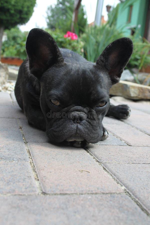 Franska bulldoggar som är sömniga fotografering för bildbyråer