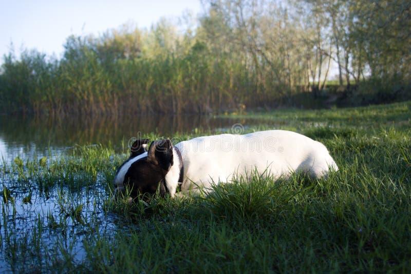 Franska bulldoggar som tröttas i sommaren arkivfoton
