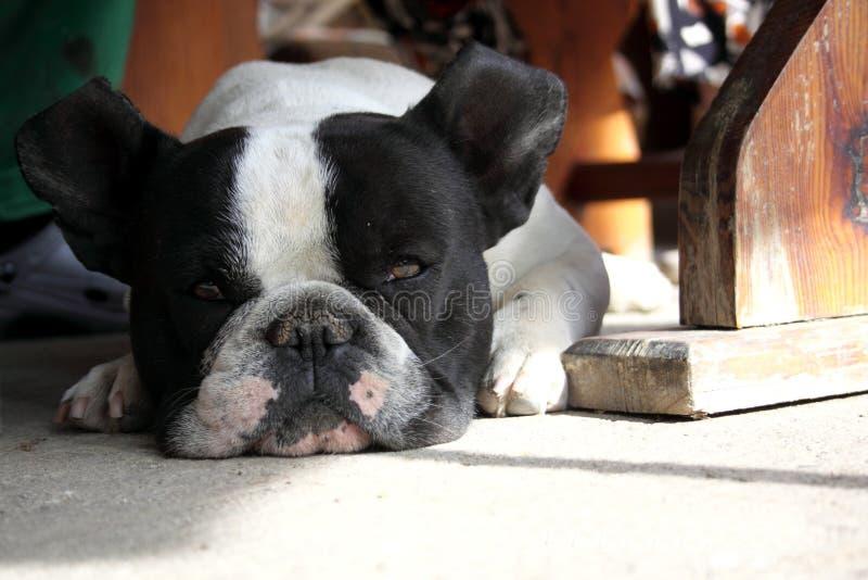 Franska bulldoggar som tröttas i sommaren royaltyfri foto