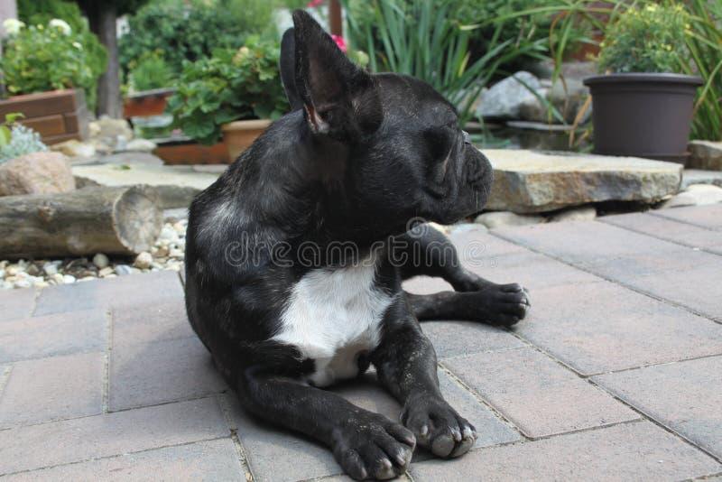 Franska bulldoggar, vem är det? royaltyfri fotografi