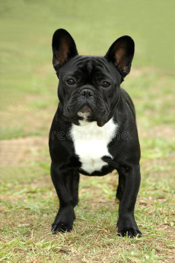 Französische Bulldogge stockbilder