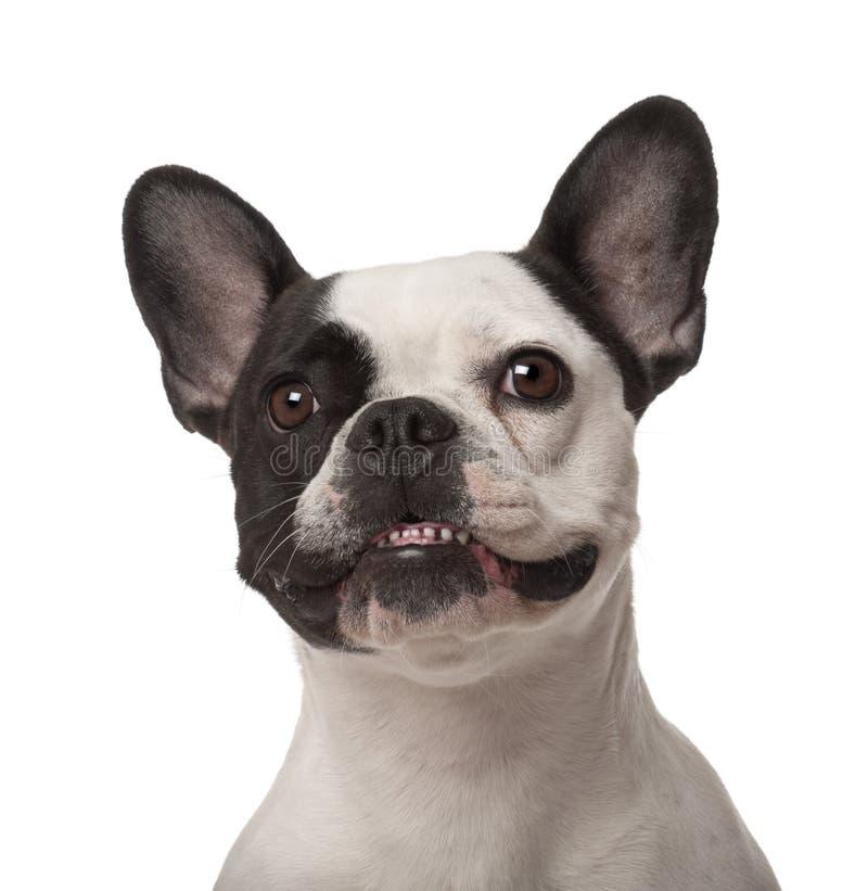 Französische Bulldogge, 3 Jahre alt stockbild