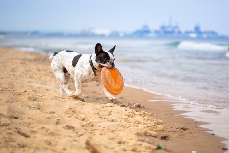 Französische Bulldogge auf dem Strand stockbild