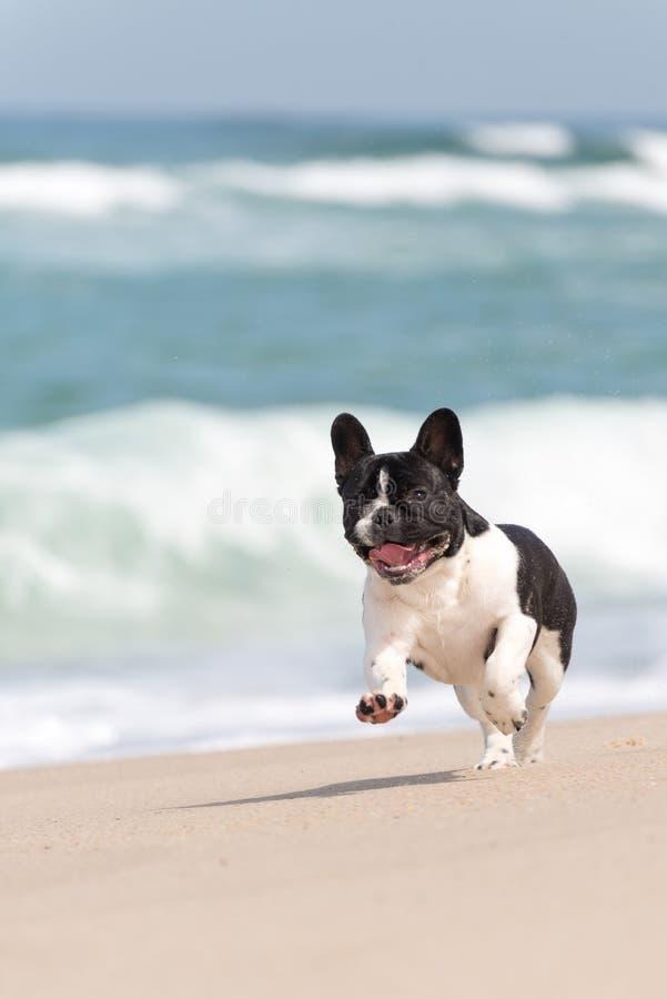Französische Bulldogge auf dem Strand lizenzfreie stockfotografie
