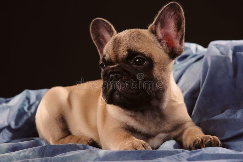 Französische Bulldogge des Welpen stockfotos