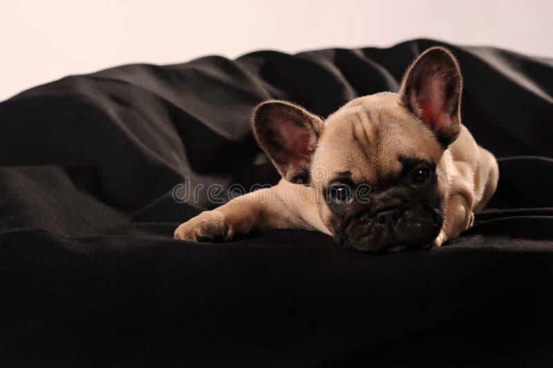Französische Bulldogge des Welpen stockfotografie