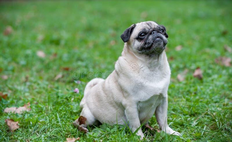Französische Bulldogge, die auf dem Gras sitzt Porträt lizenzfreie stockbilder