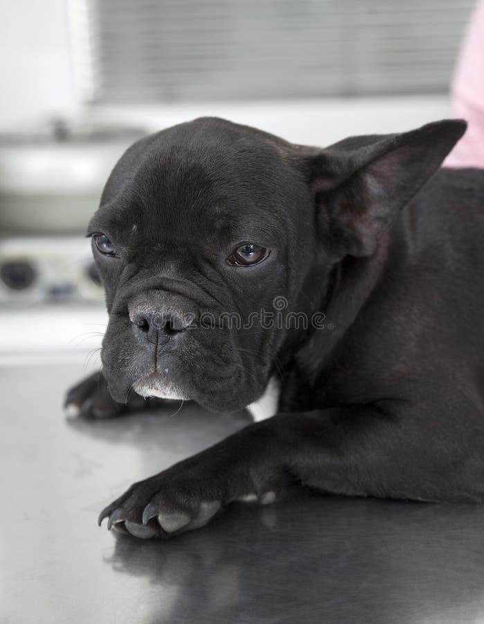 Französische Bulldogge, die auf Tabelle in der Klinik stillsteht lizenzfreie stockfotos