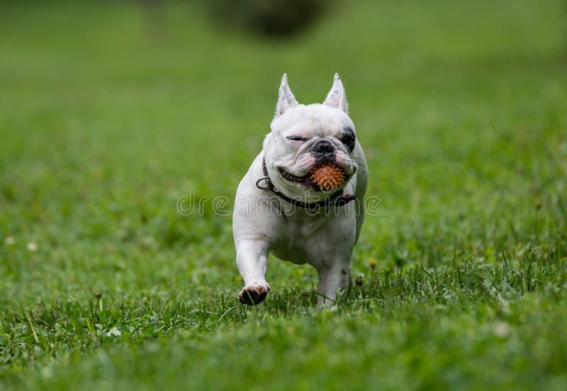 Französische Bulldogge, die in den Garten läuft stockbilder