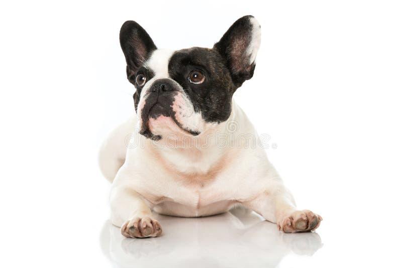 Französische Bulldogge, die oben schaut lizenzfreies stockfoto