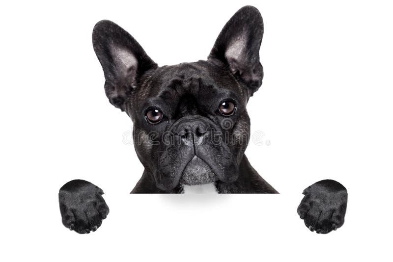 Französische Bulldogge mit Fahne stockfotos