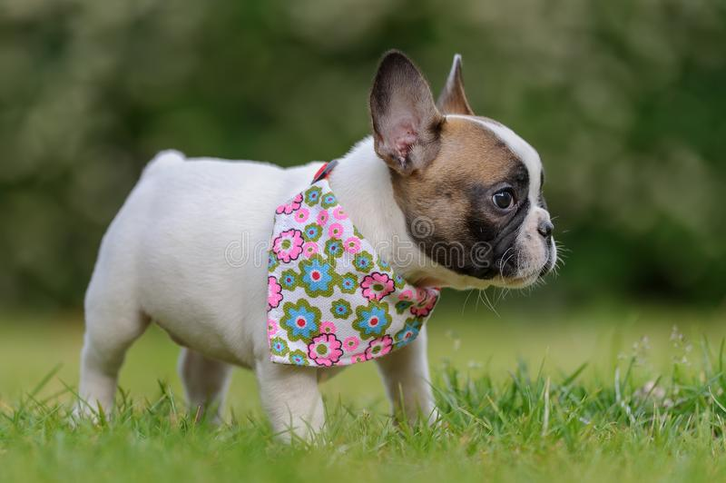 Französische Bulldogge Profil des kleinen Welpen lizenzfreie stockfotos