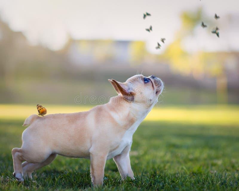 Französische Bulldogge und Schmetterlinge lizenzfreie stockfotografie