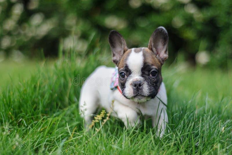 Französische Bulldogge von fron Ansicht in Natur Foto mit bookeh stockbild