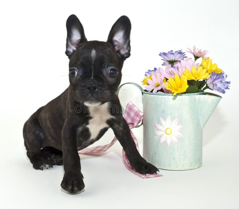 Französische Bulldogge-Welpe lizenzfreie stockfotos