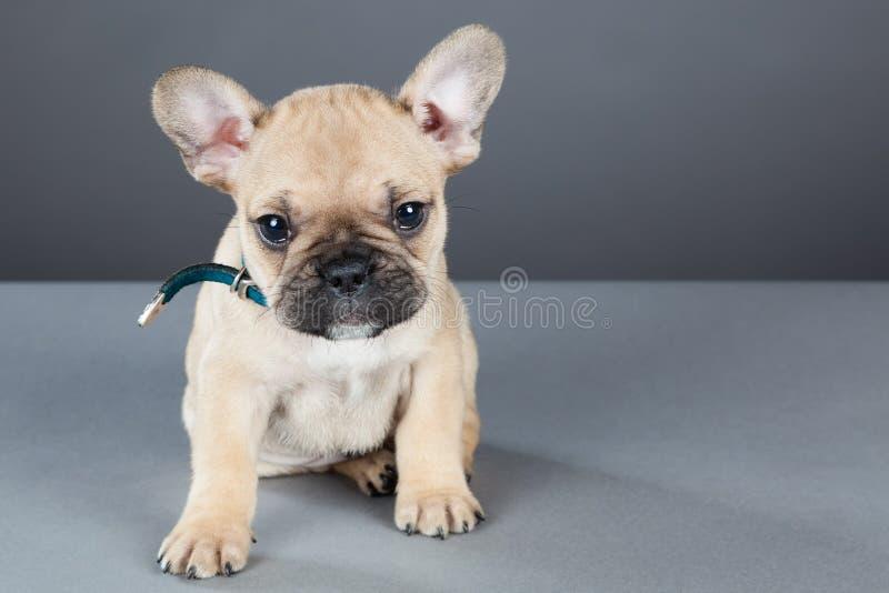 Französische Bulldogge-Welpe, der oben Kamera betrachtet stockbild