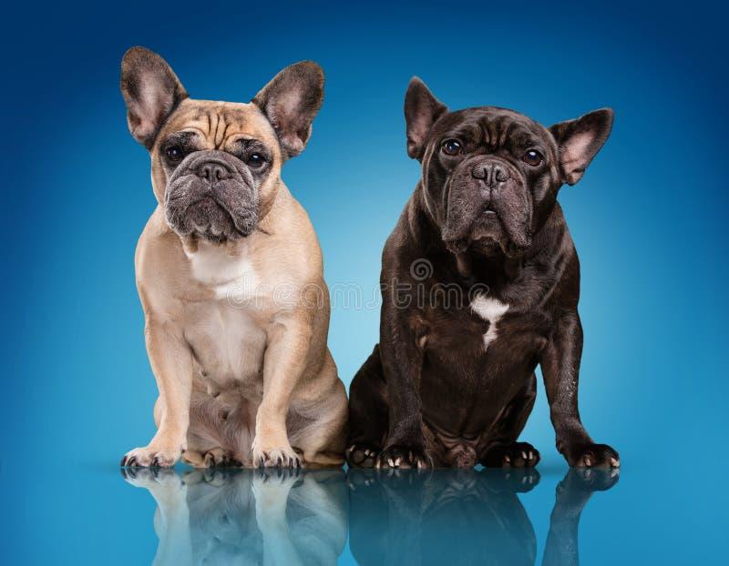 Französische Bulldoggen über blauem Hintergrund lizenzfreies stockbild
