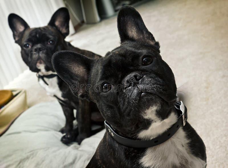 Französische Bulldoggen stockbild