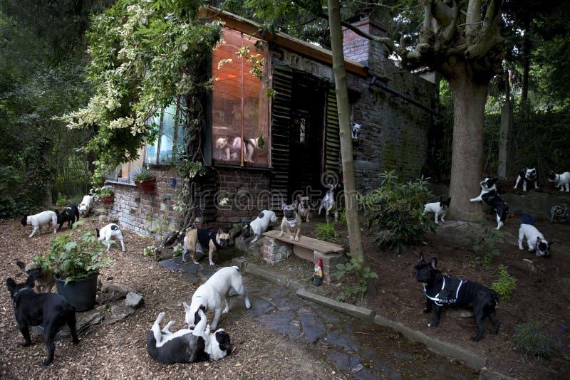 Französische Bulldoggen in einem Garten lizenzfreie stockfotos