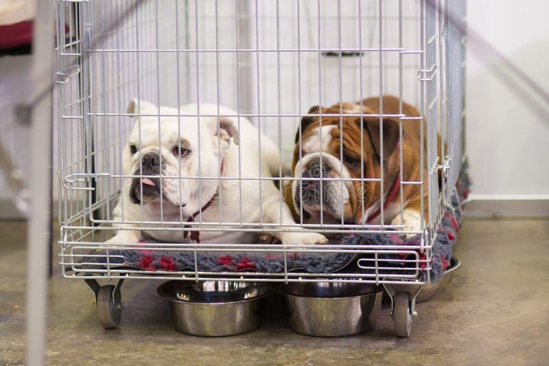 Französische Bulldoggen im Käfig stockfotos