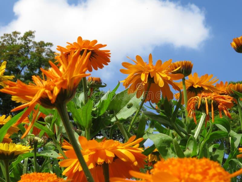 Französische Ringelblume Calendula officinalis stockbild