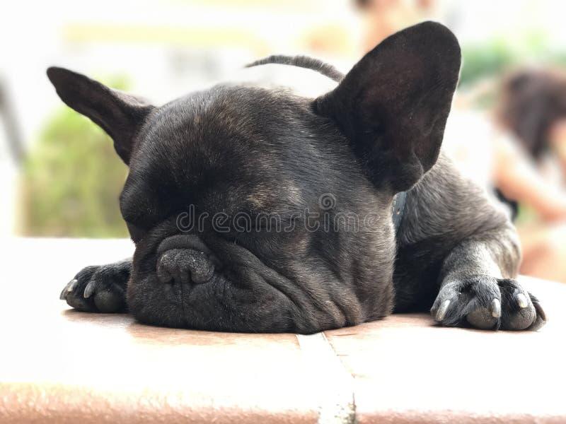 französischer buldog Schlaf stockbild