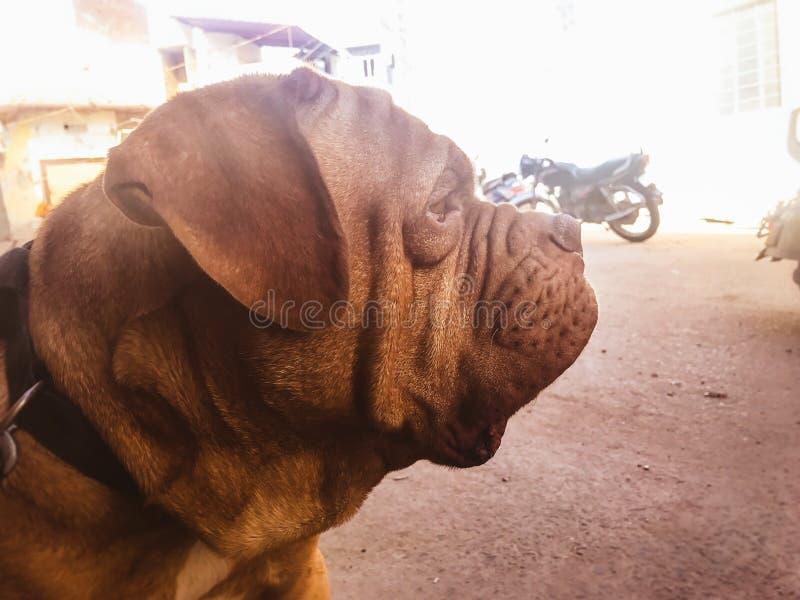 Französischer Mastiff lizenzfreie stockfotos