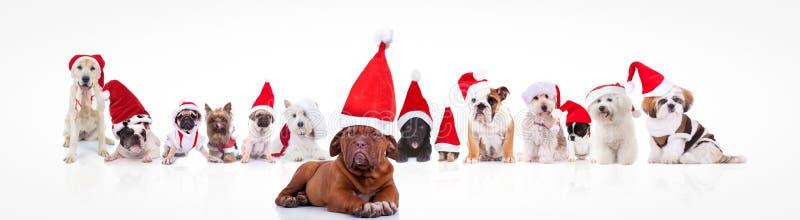 Französischer Mastiff, der eine große Gruppe Weihnachtsmann-Hunde führt stockfotos