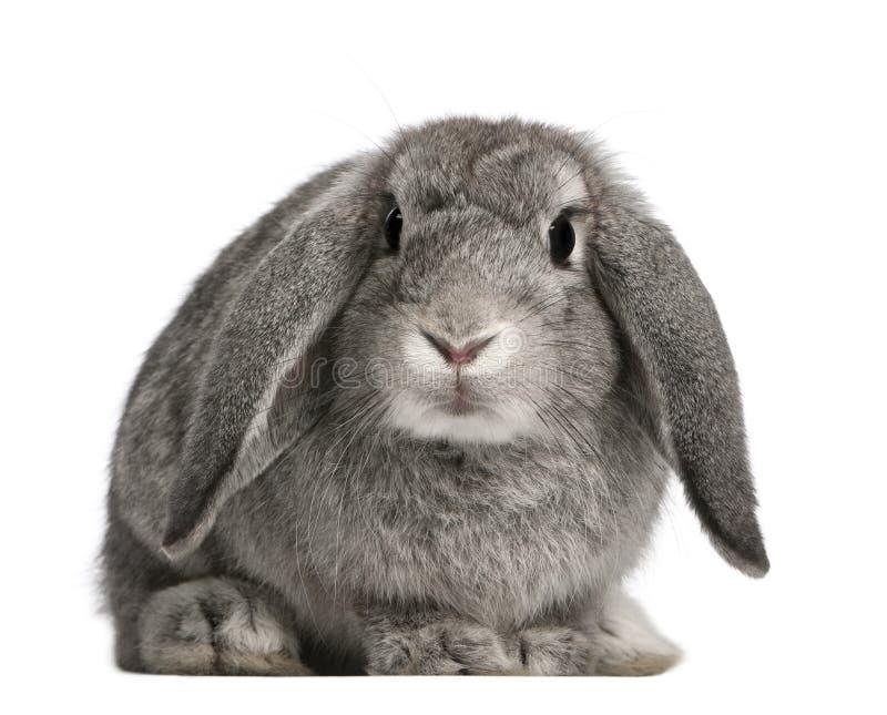 Französisches Schmierölniederdruck-Kaninchen, 2 Monate alte, Oryctolagus stockfoto