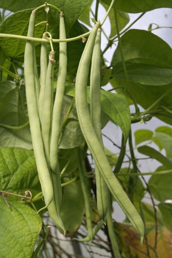 Französisches Wachsen der grünen Bohnen stockbild