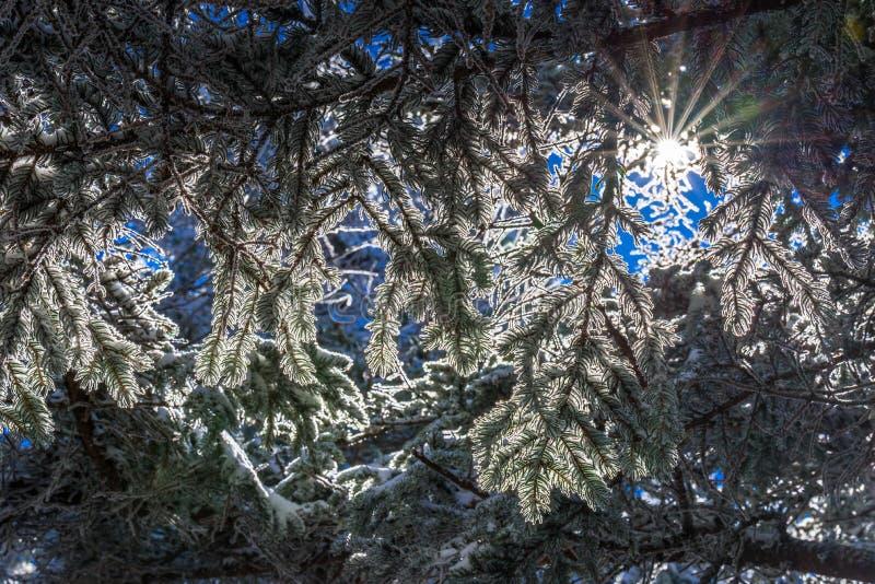 Fraser Fir Trees 2 foto de archivo
