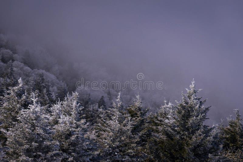 Fraser Fir Trees. An abundance of snow-covered Fraser Fir Trees the morning after a snow storm royalty free stock photos