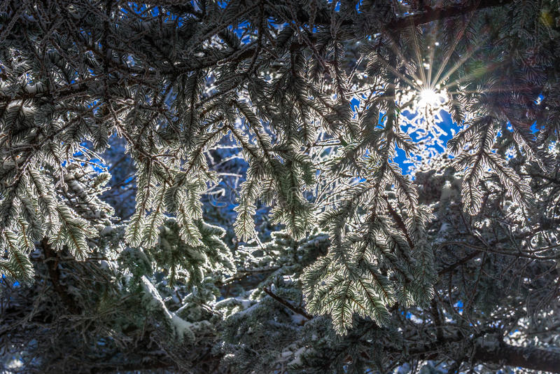 Fraser Fir Trees 2. A close up shot of snow-covered fraser fir trees against the backdrop of the sunshine at Roan Mountain along the Appalachian Trail stock photo