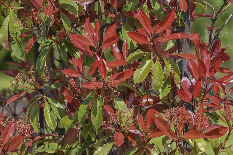 Fraser Photinia, fraseri del Photinia x Arbusto imperecedero con el follaje rojo-verde rico para los paisajes urbanos y del jardí imágenes de archivo libres de regalías