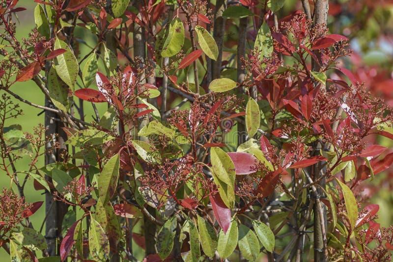 Fraser Photinia, fraseri del Photinia x Arbusto imperecedero con el follaje rojo-verde rico para los paisajes urbanos y del jard? imagen de archivo libre de regalías
