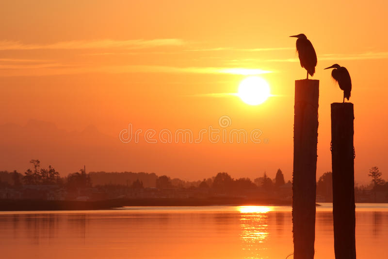 Fraser River Herons at Sunrise. Silouette of two Great Blue Herons on pilings at sunrise seen from Delta, British Columbia near Vancouver. The waterway is the royalty free stock image