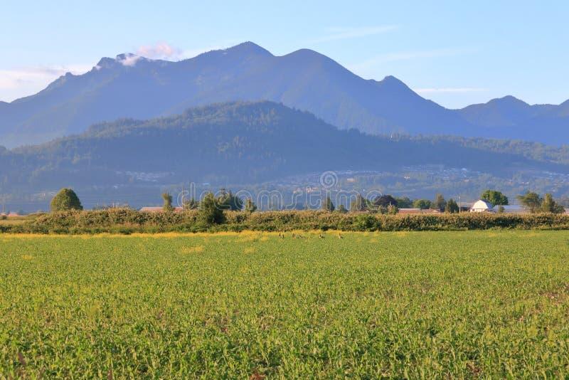 Fraser Valley del este y el campo de maíz de BC fotografía de archivo